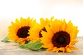 Picture flowers, flowers, sunflower, yellow, Golden, beauty, yellow, sunflower, gold, Sunflower