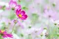 Picture nature, kosmeya, petals, stem