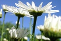 Picture the sky, chamomile, petals, stem