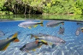 Picture FOREST, WATER, TAIL, RUFFLE, POND, SURFACE, VEGETATION, FISH, PACK, TROPICS, FINS, CANT