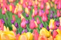 Picture bokeh, buds, tulips