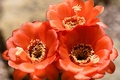 Picture stamens, macro, petals, nature