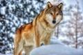 Picture fur, wolf, predator, face, winter