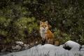 Picture snow, Fox, forest, wildlife