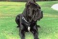 Picture Brusco's, Puppies, Cane Corso, Nero, Champion, Cassie, Breeder, Stud Service, Italian Mastiff