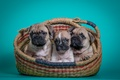 Picture French bulldog, basket, trio, puppies