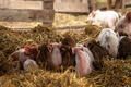 Picture background, barn, pigs