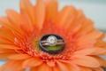 Picture flower, ring, gerbera, wedding