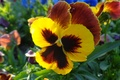 Picture flowers, beauty, Pansy