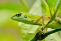 Picture greens, eyes, lizard