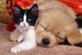 Picture kitty, sleep, friendship, puppy