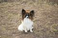 Picture dog, Papillon, white, sable, cute