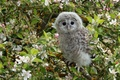 Picture flowers, Apple, owl, owlet, tree, chick, flowering, bird, branches