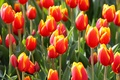 Picture flowerbed, petals, tulips, meadow, garden
