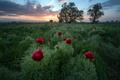 Picture flowers, the evening, field