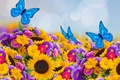 Picture spring, sunflowers, beautiful, asters, colorful, butterfly, butterfly, bokeh
