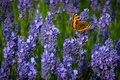 Picture lavender, butterfly, Urticaria ordinary