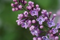 Picture macro, lilac, inflorescence