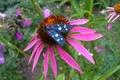 Picture heat, Echinacea, butterfly, summer, July, flower