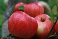 Picture background, garden, nature, Wallpaper, Stifel, village, Apple, fruit, harvest, plant, summer, apples