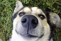 Picture grass, nose, nostrils, Dog