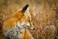 Picture field, grass, Fox, red