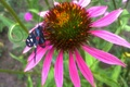 Picture flower, June, summer day, Echinacea, butterfly
