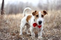 Picture dog, Jack Russell Terrier, each