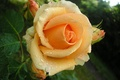 Picture Rosa, rose, Bud, yellow