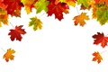 Picture Autumn, Leaves, Maple, White Background, Template, Closeup