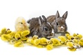 Picture Trinity, rabbits, white background, Verba, chicken, rabbits, cubs