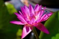 Picture water Lily, macro, Nymphaeum, dragonfly