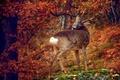 Picture tree, deer, autumn colors, wildlife, autumn, leaves