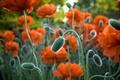 Picture field, nature, Maki, garden, meadow