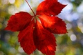 Picture red, macro, widescreen, widescreen, background, leaf, blur, HD wallpapers, Wallpaper, leaf, full screen, background, wallpaper