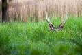 Picture hiding, grass, horns, greens, Deer