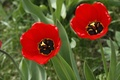 Picture flowers, background, plants, Tulip, Wallpaper, tulips