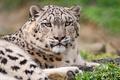 Picture IRBIS, snow leopard, gloomy