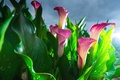 Picture Calla lilies, buds, pink