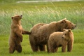 Picture bears, bears, grizzly