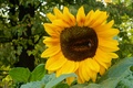 Picture leaves, trees, flowers, sheet, widescreen, Wallpaper, sunflower, wallpaper, widescreen, background, the Wallpapers, full screen, HD ...