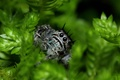 Picture vegetation, leaves, eyes, Jumping Spider, Salticidae, paws, flycatcher spiders, spider