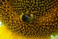 Picture sunflower, the evening, bumblebee