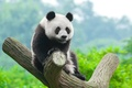 Picture Panda, Trunk, Cub, Animals
