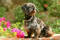 Picture flowers, dog, collar, bougainvillea