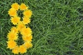 Picture flowers, in the background, green, women's day, March 8, grass, dandelions, yellow