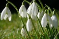 Picture flowers, macro, Snowdrops, Rosa, grass, spring, drops