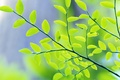 Picture Branch, green, leaves