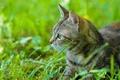 Picture cat, mustache, summer, grass, eyes, cat