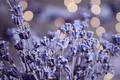 Picture herbarium, glare, lavender